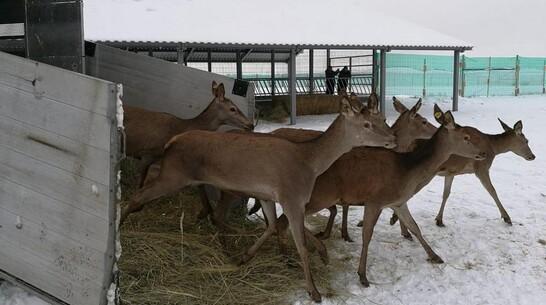 В Воронежскую область завезли стадо благородных оленей из Венгрии