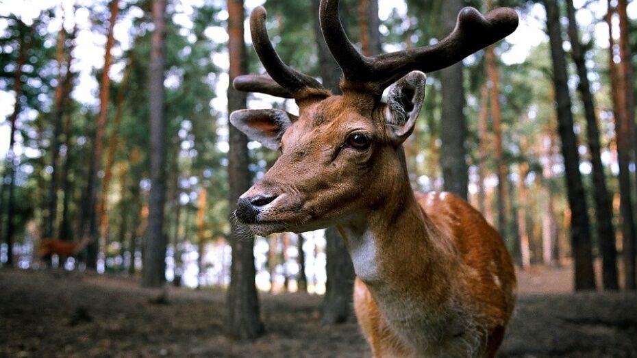Фотоловушка Воронежского заповедника запечатлела парнокопытных из семейства оленей