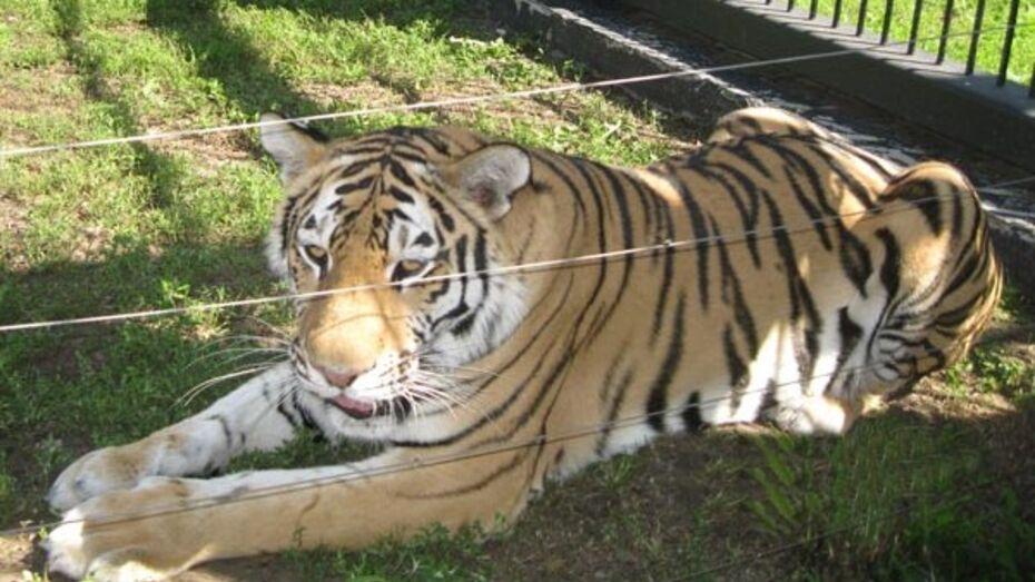 Тигрица Шилка переехала в новый вольер воронежского зоопарка