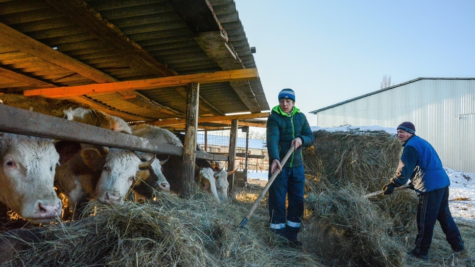 В 2016 году 5 острогожских хозяйств начнут разводить скот