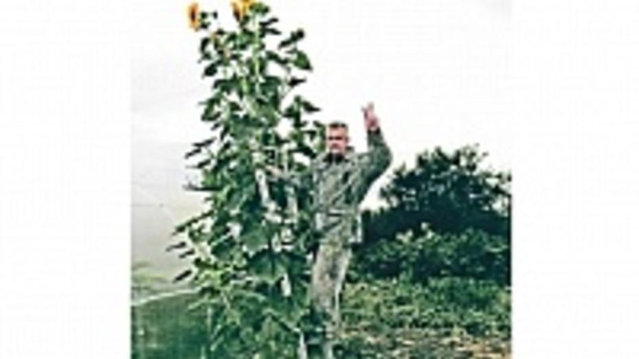 В Семилуках вырос подсолнух высотой более 4 метров