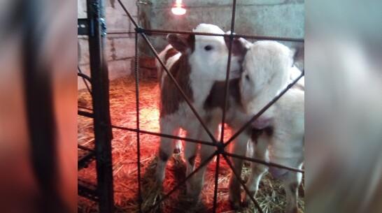 В Верхнехавском районе корова родила еще одного теленка через 3 дня после первого