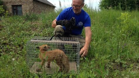 Воронежский зоозащитник спас провалившегося в яму лисенка