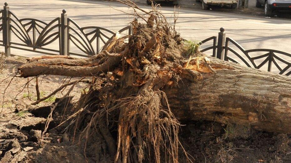 В Воронеже тополь упал на женщину с 3-летним ребенком