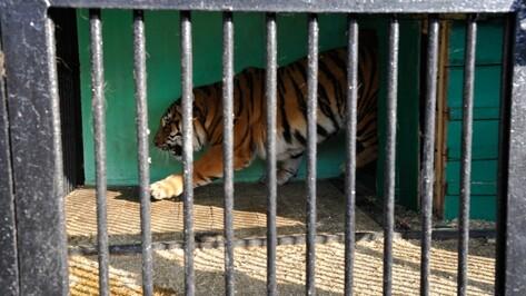 Тигра Шерхана и тигрицу перевезли из Воронежа в Карачаево-Черкесию
