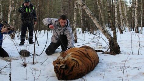 Сбежавшего в Воронеже тигра выстрелом из ветружья обездвижил врач зоопарка