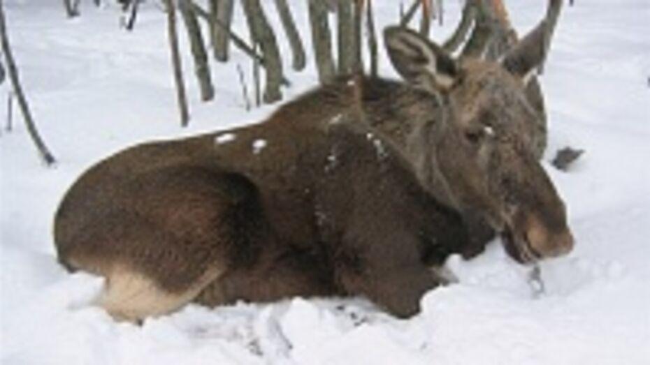В Борисоглебском районе охотники вызволили лося из браконьерской петли