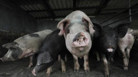 Новохоперские фермеры спрятали 19 свиней после вспышки АЧС
