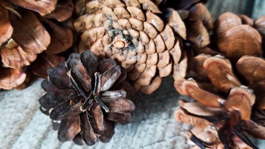 В Воронежской области заготовили 15 тонн сосновых шишек