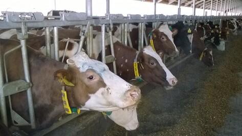 В Воронежской области заработал молочный комплекс на 2800 голов коров
