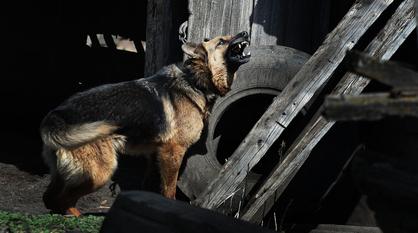 Бродячий пес загрыз маленькую собаку на глазах у воронежцев