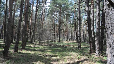 Вырубку сухих сосен в Северном лесу приостановили после жалоб воронежцев