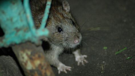 «Крыса упала мне под ноги». Куда обращаться воронежцам, если в доме поселились грызуны
