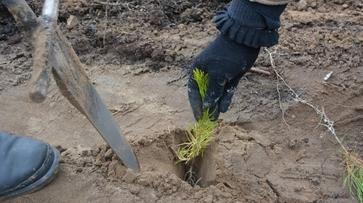 В Россошанском районе начали посадку саженцев сосны и акации