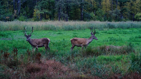В Воронежском заповеднике насчитали 50 самцов европейских благородных оленей