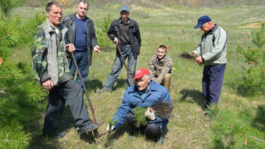 В Воробьевском районе посадили сосновый бор