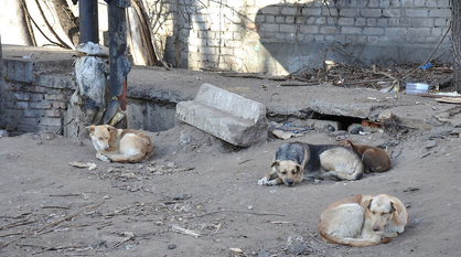 В частном воронежском приюте жестоко расправились с 10 собаками