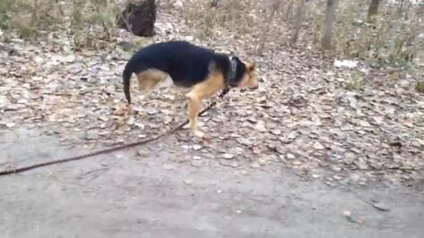 Пес из воронежского приюта научился ходить на двух лапах после ампутации