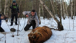 Росприроднадзор проверит инцидент со сбежавшим в Воронеже тигром
