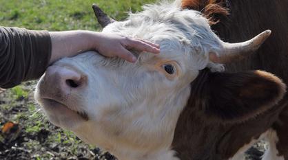 Карантин ввели на год в воронежском селе из-за лейкоза у коров