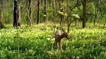 Косули в первоцветах попались в фотоловушку в Воронежском заповеднике