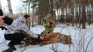 В Воронеже поймали сбежавшего тигра