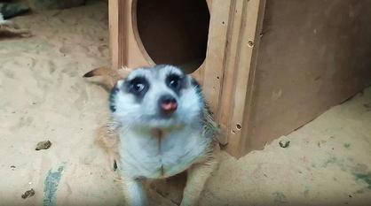 Воронежский зоопарк показал видео переезда пары сурикатов в новый дом