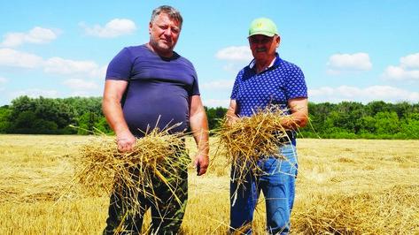 В Богучарском районе впервые получили рекордный урожай озимой пшеницы