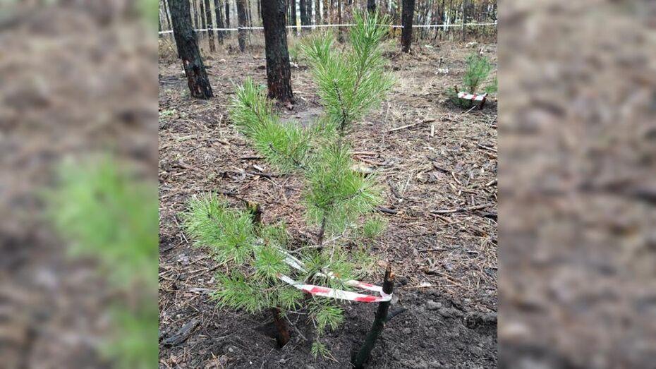 Более 60 сосен посадили активисты в Северном лесу Воронежа
