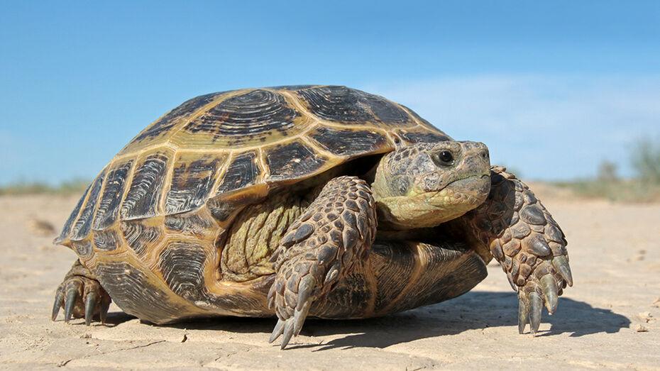В Воронежском зоопарке черепаха впервые снесла яйцо