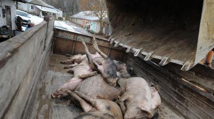 В Воронежской области из-за АЧС уничтожили 1,2 тыс свиней из частных подворий