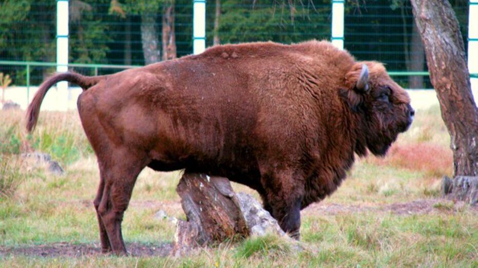 Осенью воронежцы увидят бизонов