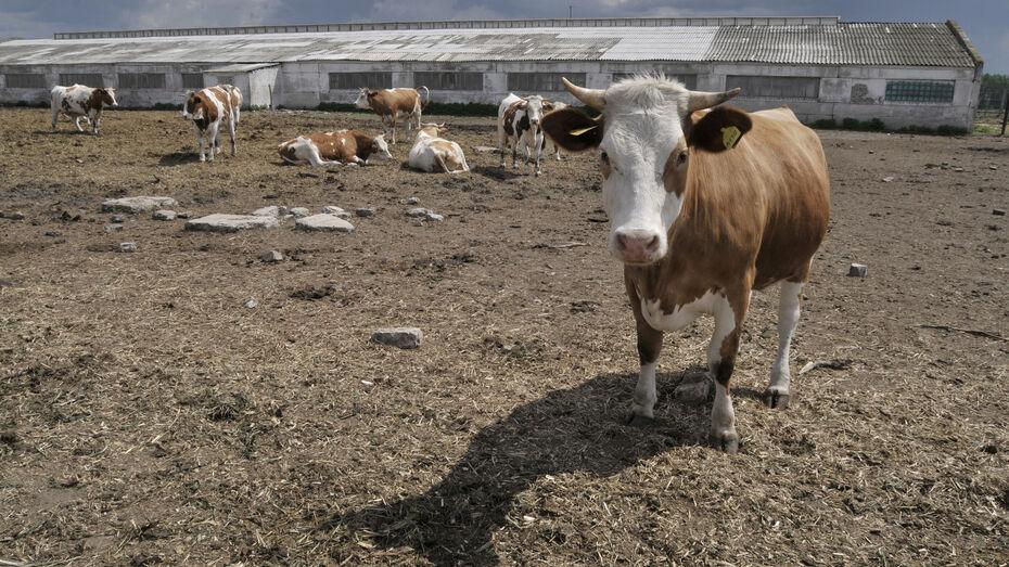 Воронежский фермер с фантомными коровами обманул государство на 350 тыс рублей