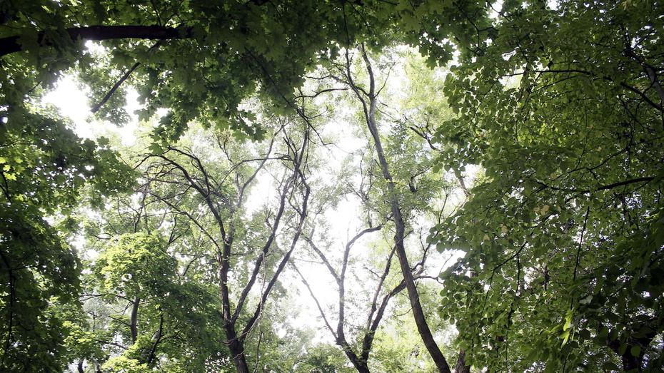 За год в Воронеже посадили 7,5 тыс деревьев