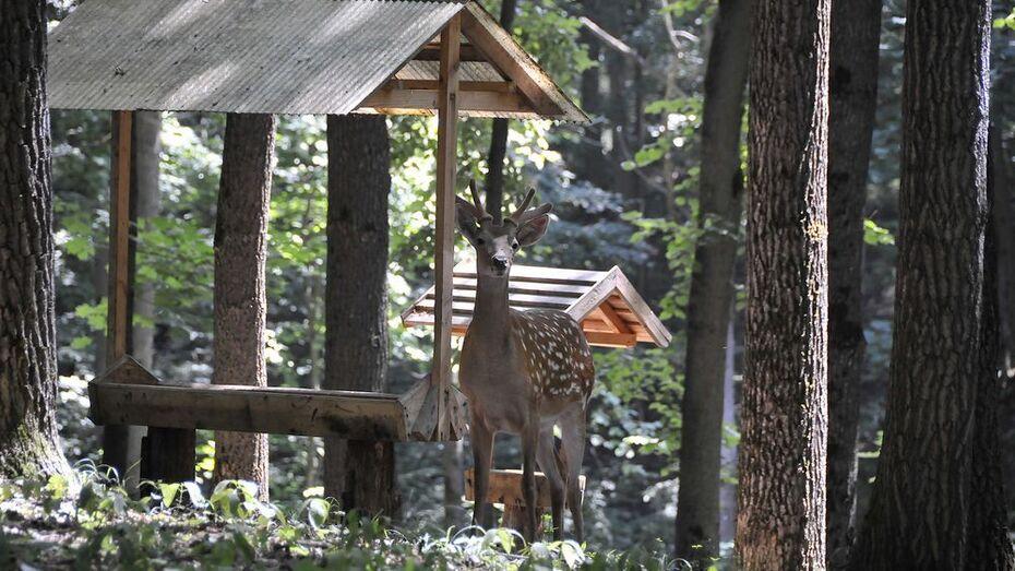 В Воронежский биосферный заповедник привезут 100 благородных оленей