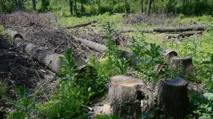 Мэрия Воронежа возьмет на контроль вырубку деревьев в «Задонье»