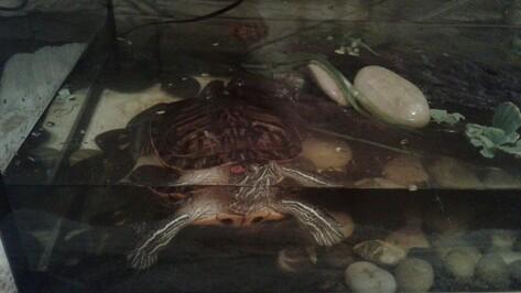 В Воронеже спасенная из озера на Минской черепаха нашла дом