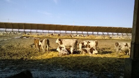 В Воронежской области появилась откормочная площадка для 3 тыс коров