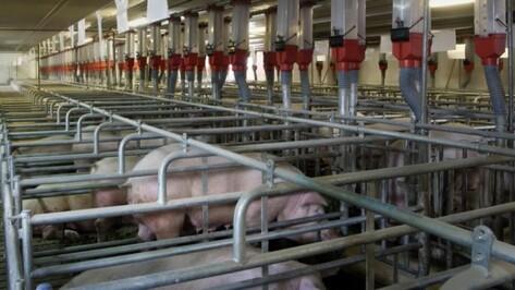 Немецкий инвестор начал строить второй свинокомплекс в Воронежской области