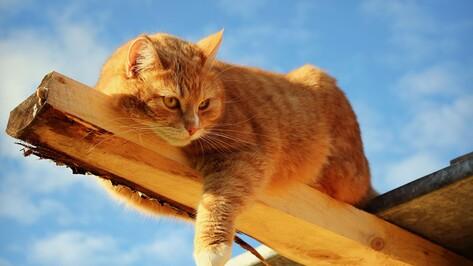 Воронежцы увидят шоу загорелых кошек