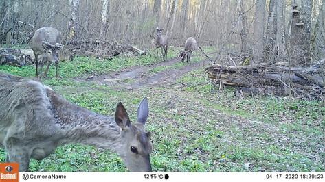 Группа благородных оленей попала в фотоловушку Воронежского заповедника