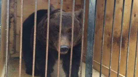 Фура с цирковыми медведями попала в ДТП на пути в Воронеж