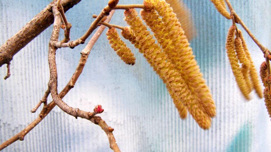 В нижнедевицких лесах раньше обычного зацвел орешник
