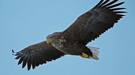 В верхнемамонских урочищах поселились орланы-белохвосты