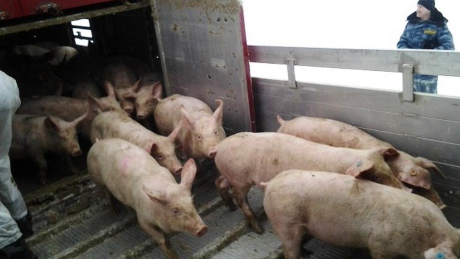 На площадку нижнедевицкого комплекса после ликвидации африканской чумы завезли первую партию свиней