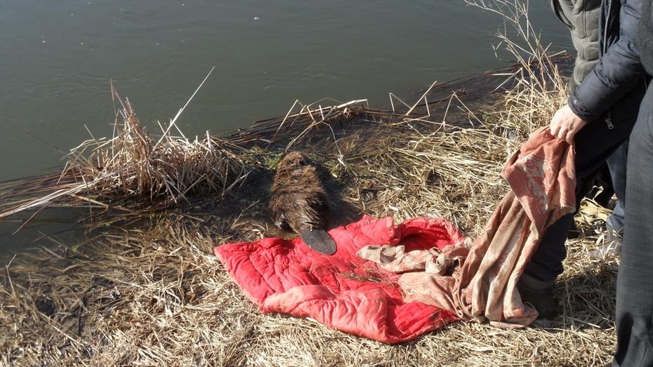Рамонцы спасли бобра из лужи на грунтовой дороге