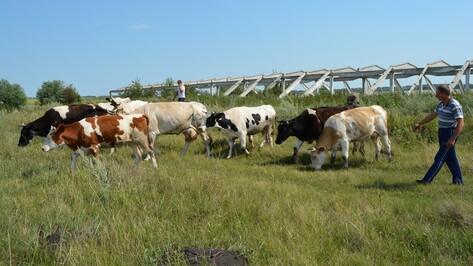 Нижнедевицкие фермеры получили более 5,5 млн рублей на развитие животноводства