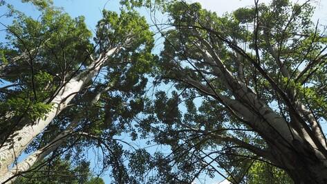 «Тополя идеальны для Воронежа». Почему ученые против вырубки деревьев