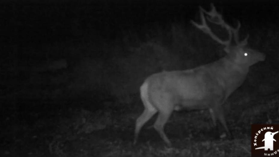 На видео попали оленьи «бои с тенью» в воронежском заповеднике