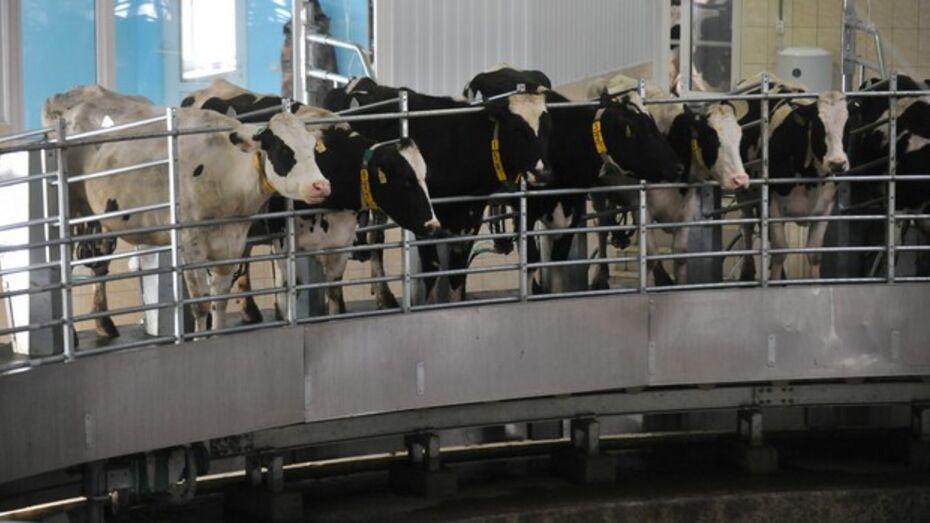 В Лискинском районе запустили молочный комплекс